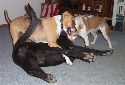 Three dogs playing inside of a house on top of a light blue-gray carpet - A Labrador/Great Dane mix is laying on its back, there is a Boxer/Beagle mix standing over top of it, there is a Pitbull standing in front of it and biting down.