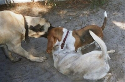 Three dogs are biting at each other in sand. The large mastiff is biting the basset hound and the labrador retriever is on the ground under the basset.