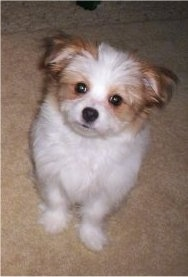 Lulu, the Papastzu (Papillon / Shih Tzu hybrid) as a young puppy
