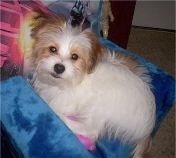 Side view - A white with red Papastzu puppy is laying against and on top of a blue pillow. It is looking up and its head is tilted to the right.