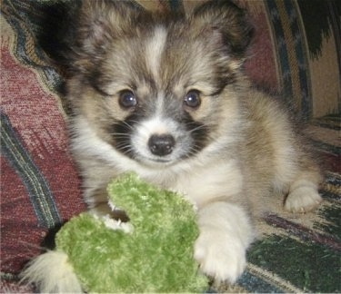 Close up view from the front - A small, fluffy, tan with black and white Papillion/American Eskimo mix puppy is laying on a colorful couch and looking forward. There is a green plush doll in front of it.