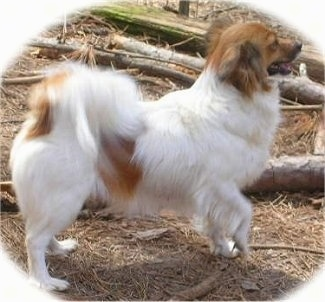 Right Profile - A white with red Papillon is standing in brush and behind it is a couple of fallen logs. It is looking to the right and its mouth is open and tongue is out. Its front right paw is in the air.