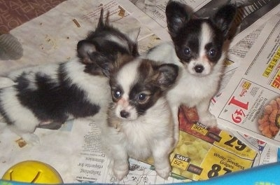 A Litter of Papillon puppies standing on newspapers. Two of them are looking to the left and one of them is walking across the newspaper. They are inside of a blue plastic pool and there is a yellow plastic toy ball in front of them inside the pen.