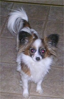 Front view - A white with tan and black toy Papillon is standing on a tan tiled floor looking forward with its head up.
