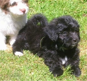 Two fluffy, Papipoo puppies in grass looking to the right - A black with white puppy is laying down in front of a sitting white with red pup.