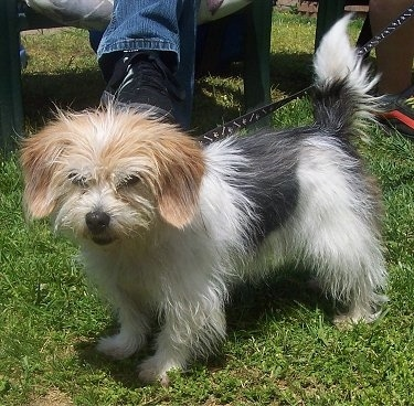 Front side view - A fluffy tricolor white with tan and black Peagle is standing outside in grass. There is a person sitting in a green lawn chair behind it. The dog is looking forward and its tail is up.