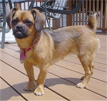 Ruby, the Peagle (Beagle / Peke hybrid) at 9 months old