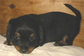 Side view - A black and tan Pekehund puppy is standing on a white pillow in front of a wooden wall with its head down. It is looking down.