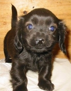Front view - A shiny black Pekehund puppy is standing on a pillow and it is looking forward. It has round eyes and long drop ears.