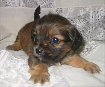 Baby Dill  Pickle, the Pekehund (Pekingese / Dachshund hybrid) as a young  puppy