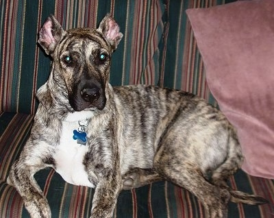 Side view - A black brindle with tan and white Cimarron Uruguayo dog is laying on a striped couch looking forward with a maroon pillow behind it. Its ears are cropped.