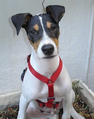 Front view - A white with black and tan Perro Ratonero Andaluz puppy is wearing a red harness, sitting in front of a large white wall. It has ears that hang over to the front.