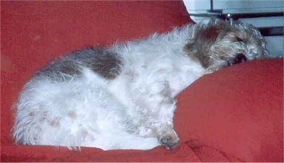 Side view - A shaggy, white with tan Petit Basset Griffon Vendeen dog is sleeping on a bright red couch with its head on the arm.