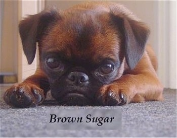 A short-haired brown with black Belgian Griffon is laying down with a what looks to be a frown on its face. The words - Brown Sugar - is overlayed at the bottom of the image