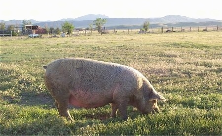 Right Profile - There is a huge, fat, furry pink pig rooting through dirt outside in a grassy field.