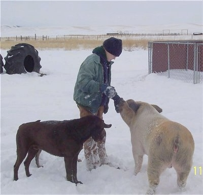 A person in a green coat is standing in snow and giving food item to a pig standing in front of her. Next to her is a brown dog and it is looking down at the snow.
