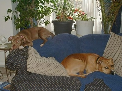 Two American Pit Bull Terriers laying on a couch one up high on the back rest and the other lower in the seating area