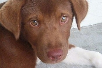 Close Up head shot - A Chocolate with white Lab-Pointer Puppy is laying on a sidewalk against a white building