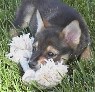 Close up - A black with tan Pom-Shi puppy is laying in grass and it is chewing on a big white rope toy.