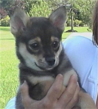 A black with tan Pom-Shi puppy is being held in the arms of a person. It has perk ears and a foxy looking face.