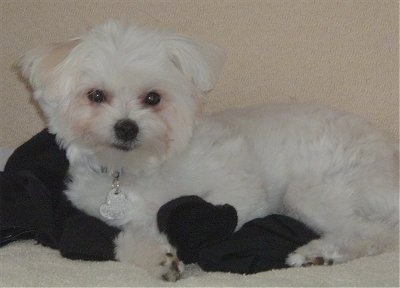 A white Maltipom is laying on a black blanket on top of a tan carpet. It has a silver heart tag hanging from its white collar.