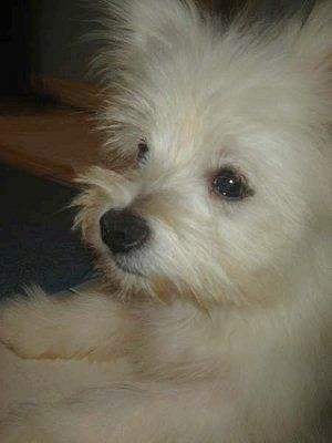 Close up side view - the upper half of a white Maltipom puppy laying on a carpet looking forward.