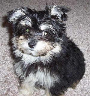 A long haired black with tan and white Maltipom puppy is sitting on a tan carpet and it is looking up.