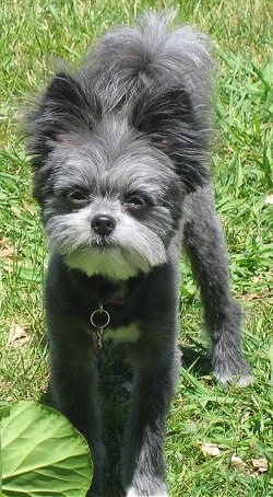 Front view - A muppet-looking black with grey and white Maltipom dog is standing in grass and looking up.