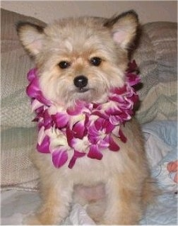 Front view - A fuzzy tan with black Pomapoo is wearing a lei, she is sitting on a couch and she is looking forward.