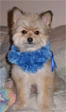 Front view - A fuzzy tan with black Pomapoo is wearing a blue scarf, sitting on a couch and she is looking forward.