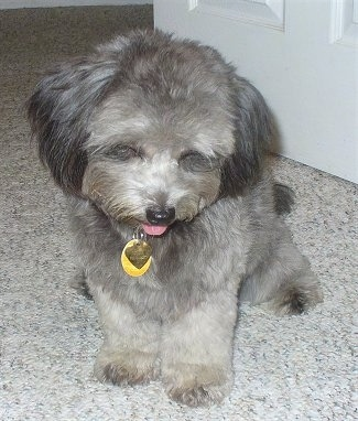 A soft looking grey with black and white Pomapoo is sitting on a carpet and she is looking down. Her mouth is open and her tongue is out.