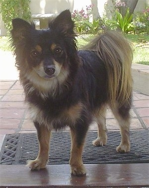 Close up front side view - A black with tan Pomapoo is standing in a doorway and it is looking forward. It has perk ears and fringe on its tail ears and chest.
