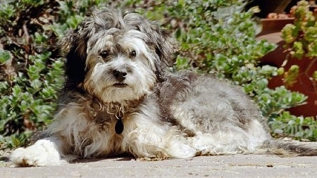 Side view - A wavy-coated, grey with white Poovanese is laying across a stone surface and there is a bush behind it.