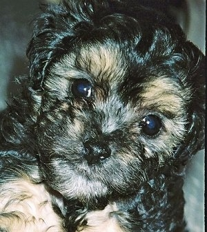 Cappuccino, the Poovanese (Havanese / Poodle hybrid) as a young puppy