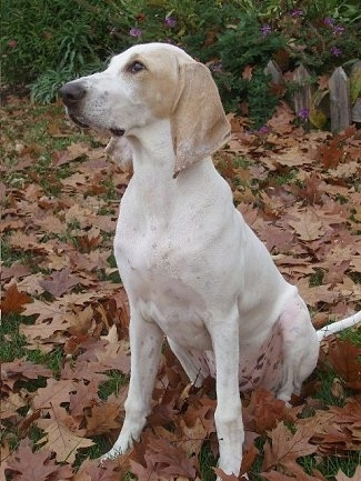 Front side view - A white with tan Porcelaine dog is sitting on a grass surface with leaves around it. It is looking to the left. It has long drop ears.