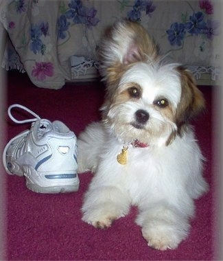 Front view - A white with brown Powderpap puppy is laying on a red rug and next to it is a white sneaker shoe. It is looking forward and its head is tilted to the right.