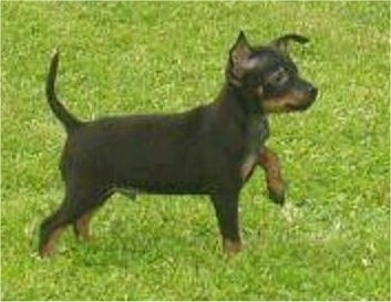 Side view - A small black with tan Prazsky Krysarik puppy is standing in grass and it is pointing to the right.