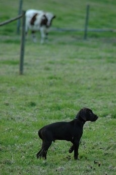 A chocolate Pudelpointer puppy is pointing to the right in a field. In the distance is a cow behind a wooden and wire fence.