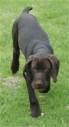 Front view - A chocolate Pudelpointer puppy is walking in grass. Its head is level with its body.