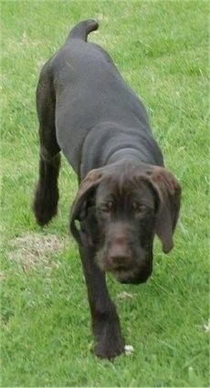 Pudelpointer Dog Breed Info