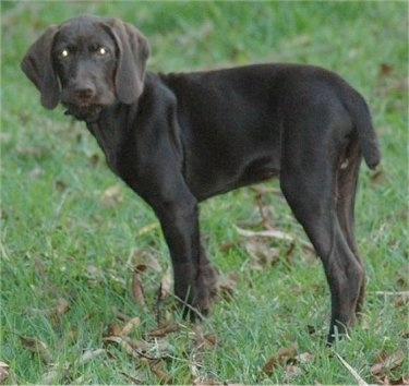 The left side of a chocolate Pudelpointer puppy standing in grass and it is looking towards the camera.