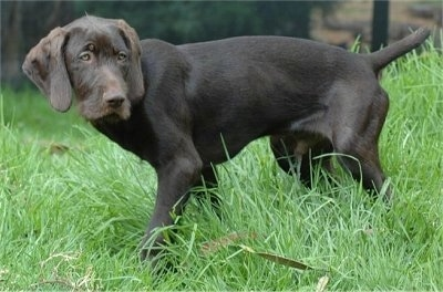 The left side of a chocolate Pudelpointer puppy that is standing in grass and it is looking to the right.