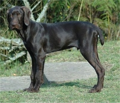 The left side of a chocolate Pudelpointer puppy that is standing in grass and it is looking forward.