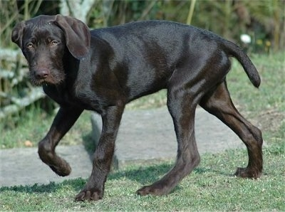 Side view - A shiny-coated, chocolate Pudelpointer puppy is walking across a field and it is looking forward.
