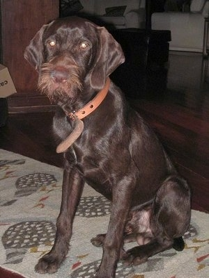 Front side view - A chocolate Pudelpointer dog is wearing a brown leather collar sitting on a tan rug and it is looking forward. The dog has short hair with longer wiry hair on its snout.
