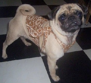 The right side of a tan with black Pug puppy that is standing on a black and white checkered floor and it is looking up and forward. It is wearing a brown and tan apron.