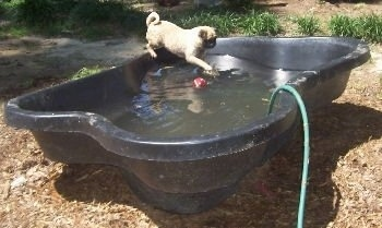 The right side of a tan with black faced Pug that is standing on the side of a black pool that is filling up with water. The Pug is pawing at the water. There is a red tennis ball floating in it.