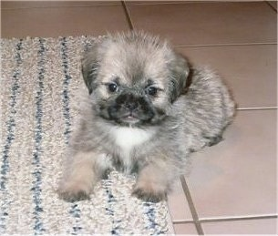 A tiny, fuzzy, tan with black and white Pug-Zu puppy is laying part way on a tan throw rug and a tiled floor. It is looking forward.