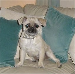 A tan with black Pug-Zu is sitting on a tan leather couch next to green pillows and it is looking forward.