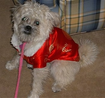 Front side view - A wavy-coated, tan Pugapoo dog is wearing a red shirt and it is looking up and forward. Its body is facing the left and there is a couch behind it.